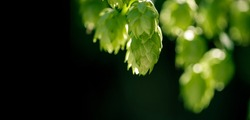 Green ripe hop cones on the plantation on black background in backlit.