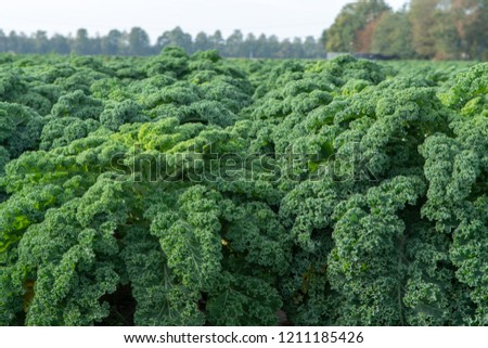 Green ripe kale or curly leaf cabbage growing on farm field, ready to harvest, farming in Netherlands