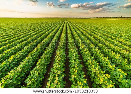 Green ripening soybean field, agricultural landscape #1038218338
