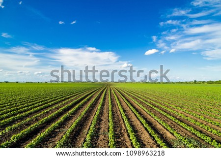 Green ripening soybean field, agricultural landscape #1098963218