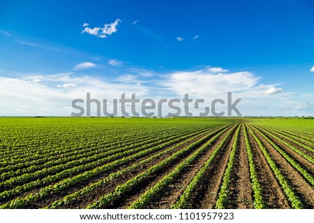 Green ripening soybean field, agricultural landscape #1101957923