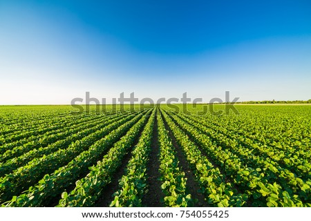 Green ripening soybean field, agricultural landscape #754055425