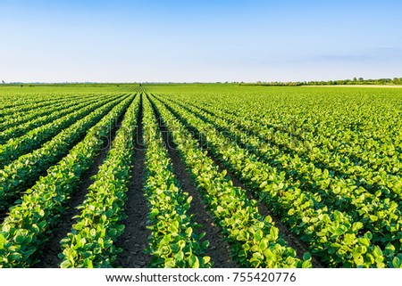 Green ripening soybean field, agricultural landscape #755420776