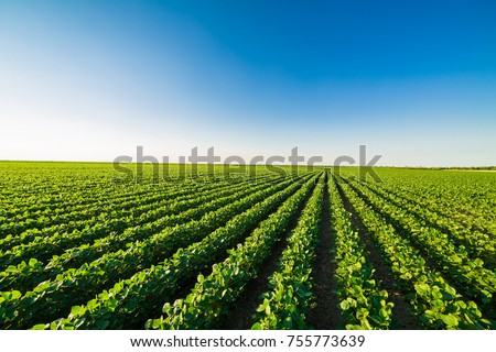 Green ripening soybean field, agricultural landscape #755773639