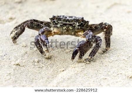 Green rock crab on sand