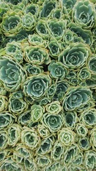 green rose cacti nature background