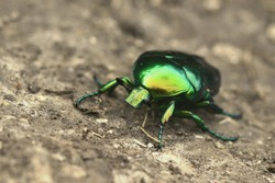 green rose chafer (Cetonia aurata) on the ground.