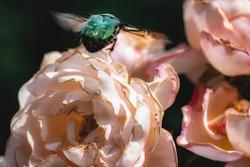Green rose chafer flower chafer scarab beetle also Rosenkaefer sitting on a rose