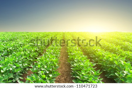 Green rows and sun glow. Natural composition