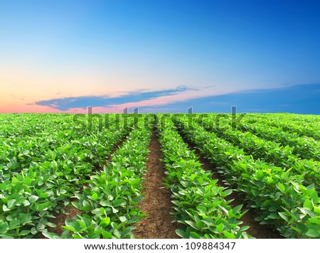 Green rows on field and bright sky. Agricultural composition