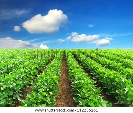 Green rows on the field and bright clouds. Agricultural composition