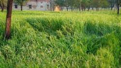 Green Rye field lies on agriculture farmland. Triticum plants destroyed by extreme wind flow or Hurricane fiasco.