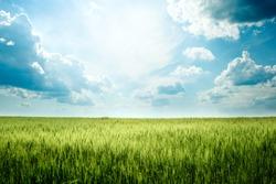Green rye in field on a sunny day, Europa