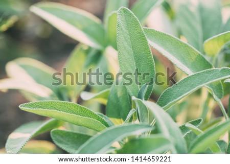Green sage plant herb leaves. Healing herbs, medicinal herbs.