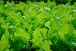 green salad in the garden. Fresh lettuce for a healthy salad. Green leaves. vitamins, vegetarian food. healthy and wholesome food. green natural background. close-up