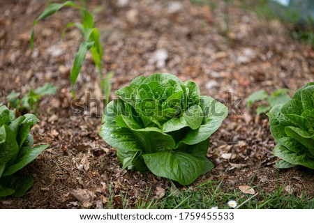 Green salad lettuce romaine grows in kitchen garden. Mulching vegetable beds with leaves and grass.  Photo stock ©