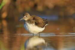 Green sandpiper cleans its feathers,Spring 2017, migration of birds, waterbirds, wild bird northern birds