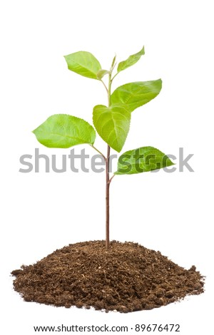 Green sapling of apple tree. Isolated on a white.