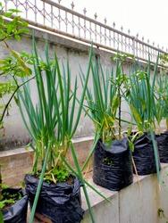 Green Scallion or known as Daun Bawang in Indonesia
