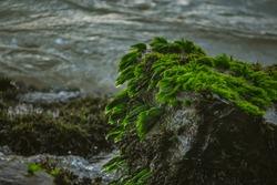 Green Sea Grass On Rocks On An Indian Ocean. Green moss on Rock at Beach Sand.