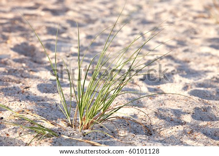 Green sea grass on sand dune close up