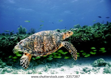 Green sea turtle against coral background