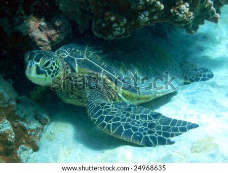 Green Sea Turtle, Ahihi Kinau, The Dumps, Maui