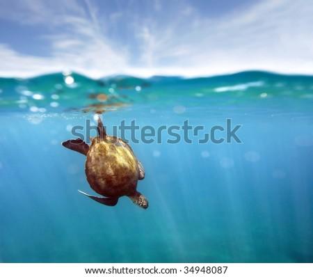 green sea turtle and coral reef maui hawaii