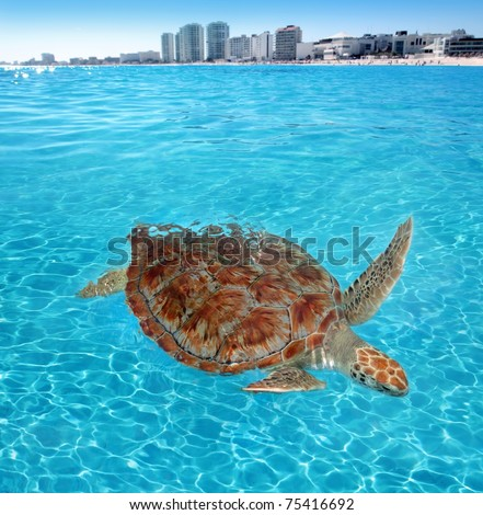 Green sea Turtle Caribbean sea surface Cancun Mexico Chelonia mydas [Photo Illustration]