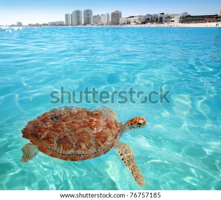 Green sea Turtle Caribbean sea surface Cancun Mexico Chelonia mydas [Photo Illustration]