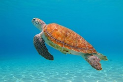 Green sea turtle (Chelonia mydas) and shallow blue tropical ocean. Vivid seascape with marine animal. Underwater photography from scuba diving with the swimming sea turtles. Aquatic life.