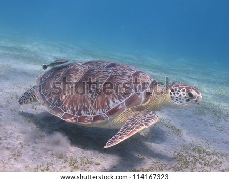 Green sea turtle (Chelonia mydas) leaving her lunch