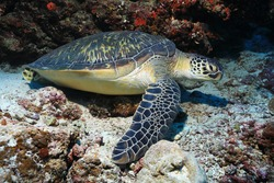 Green sea turtle (Chelonia mydas) lying underwater on the sea floor of the Indian Ocean in the Maldives