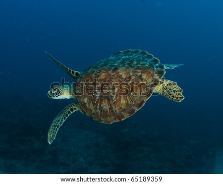 Green Sea Turtle-Chelonia mydas, picture taken in south east Florida