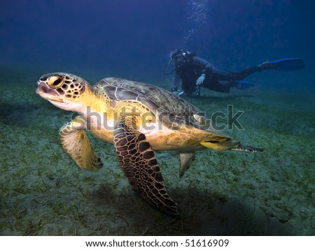 Green sea turtle Chelonia mydas swimming underwater in front of scuba diver seen on background , Abu Dabab,  Egypt