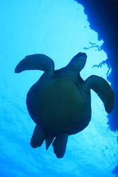 Green sea turtle (Chelonia mydas) swimming underwater in the tropical waters of the Maldives