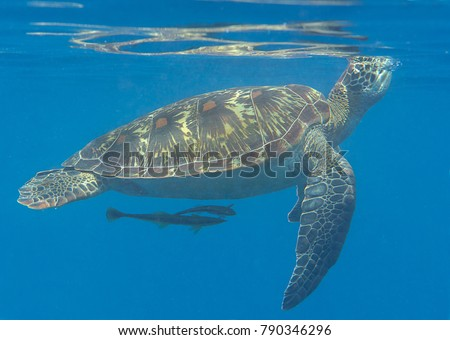 Green sea turtle (Chelonia mydas) swims to the surface to breath air with remora fish (Echeneis naucrates) , Bali, Indonesia  #790346296