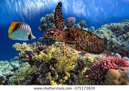 Shutterstock Green Sea Turtle Chelonia swiming over Coral Reef, Red Sea, Egypt