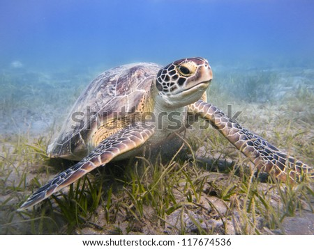 Green sea turtle Egypt Red Sea