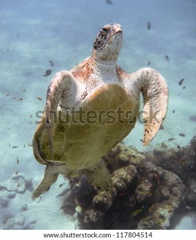 Green sea turtle. Egypt. Red Sea