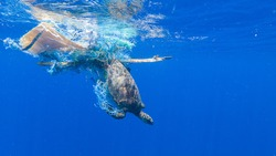 Green sea turtle entangled in a discarded fishing net