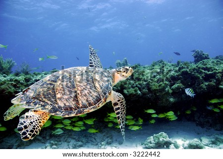 Green sea turtle flys by coral ledge
