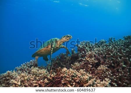 green sea turtle, great barrier reef. Australia - stock photo
