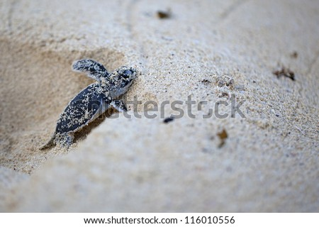 Green Sea Turtle Hatchling making its first steps from the beach to the sea