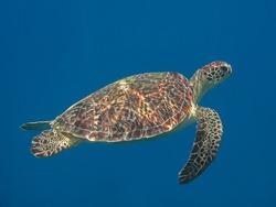 Green sea turtle in blue sea water, tropical tortoise swimming underwater