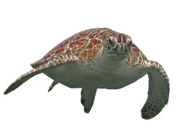 Green sea turtle isolated, tropical tortoise on white