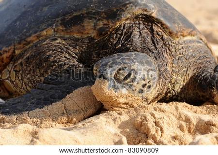 Green Sea Turtle, Kauai, Hawaii