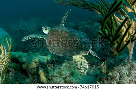 Green Sea Turtle on a reef in south east Florida.