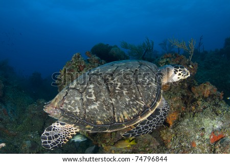 Green Sea Turtle Over Coral Reef