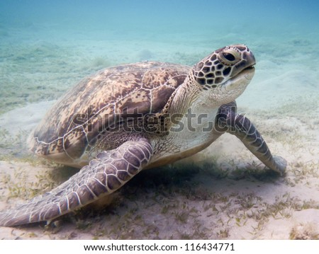 Green sea turtle Red Sea